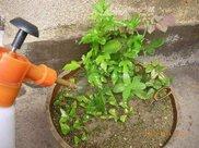 茉莉不开花?一个动作让你的植物开爆盆!