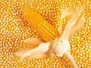 涨涨跌跌,这次华北玉米又要涨价了?!