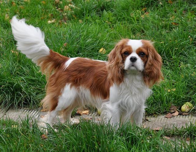 狗狗不一定要纯种,串串也能充满魅力,盘点串串的四大优点