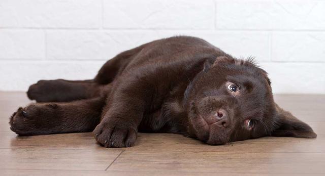 小狗刚回家夜间总是叫不停,主人不要去管它,忽视它是最好的办法