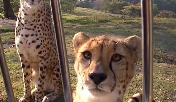 """凶猛的猎豹一世英名,毁在叫声上了,声音太""""萝莉""""了,比猫还萌"""