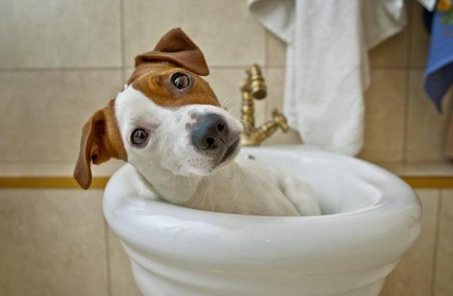 狗狗碗里每天都有水,为什么还去厕所找水喝,难道会更好喝吗?