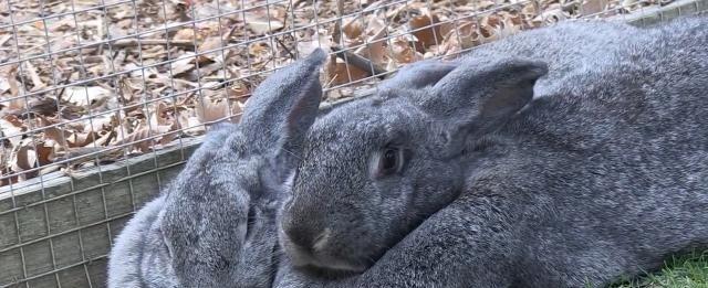 """在决定养兔子之前,看看你能否接受它的一些""""不好""""的行为"""