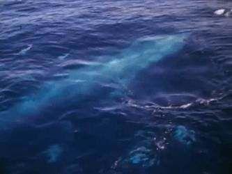 壁纸 动物 海洋动物 鲸鱼 桌面 333_250