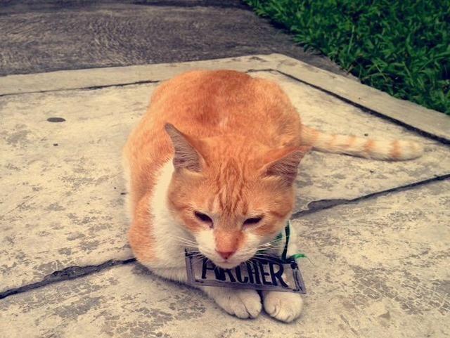 流浪猫被全校宠爱,但吃太多吃出脂肪肝,学校为猫咪举办毕业典礼