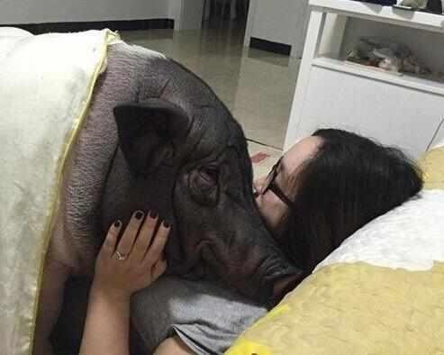 很多的女孩子都喜欢养宠物,而有一种迷你猪长大乖巧可爱引起了很大