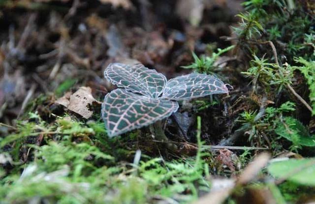 生长在野外的一种植物,请保护起来,一斤1300元,如今稀缺