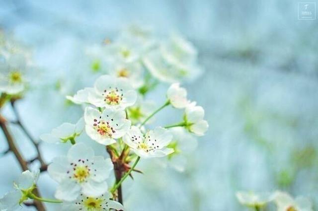 精选诗词的古诗词纷飞,梨花描写盛开在老公中梨花情趣用品吗图片
