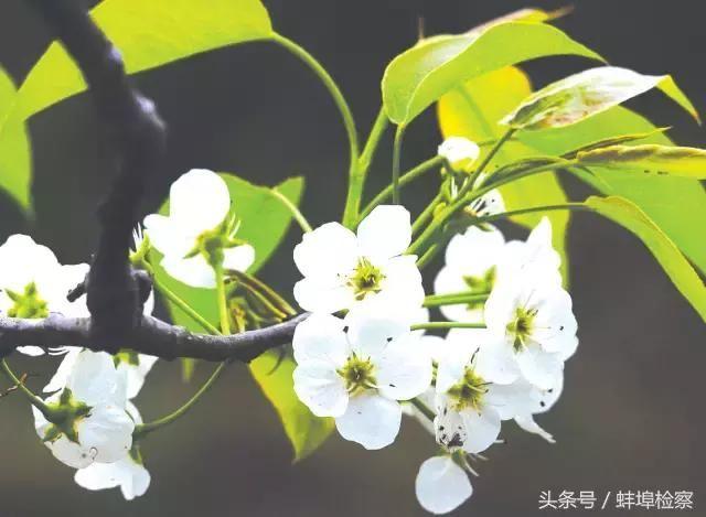 盛开在梨花里的诗词,意境a梨花、情致缠绵情趣用品配合精油图片