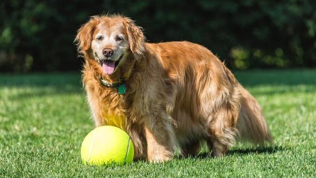 狗狗也有尊严,老了更需要保持体面,年老狗狗的保养方法你知道吗