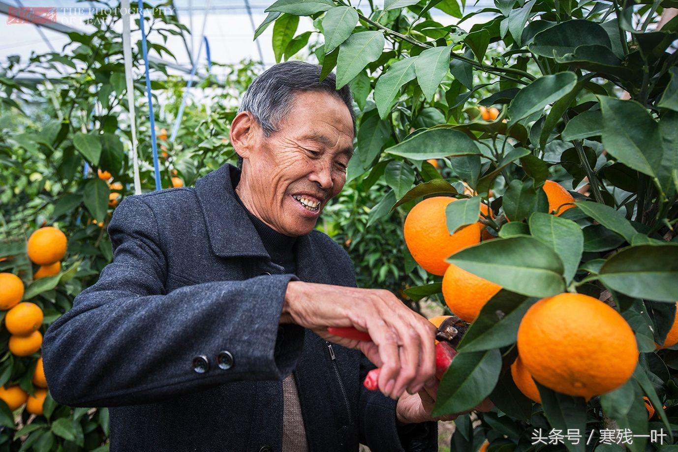 农民大爷住山上3年,培育极品柑橘迎来大丰收,20元一个