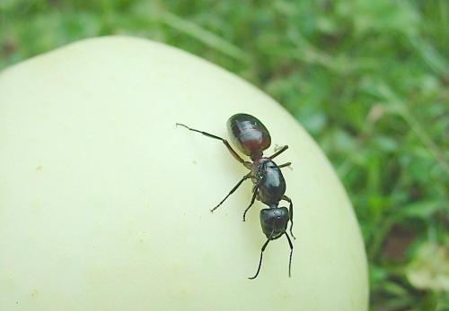 为什么蚂蚁不用睡觉,一直劳动也不会感觉到累?涨知识了