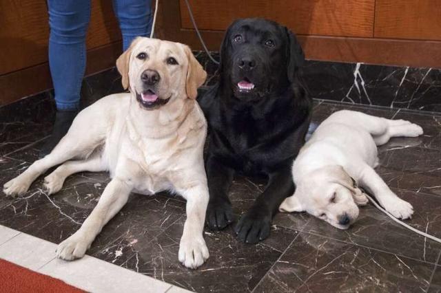 拉布拉多很可爱?提供喂食和护理方法,让狗狗颜值更上一层