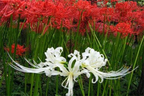 白色彼岸花的相关内容 彼岸花的花语是什么0
