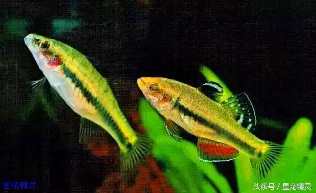 值得饲养的三种小型观赏鱼拥有令人赞叹的华丽体色 观赏鱼常见疾病 重庆水族市场第3张