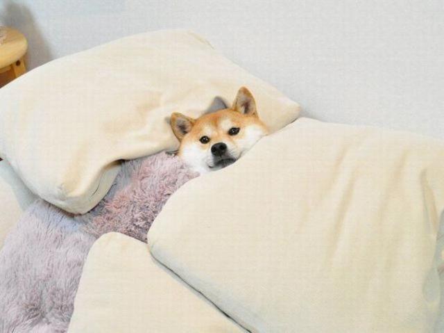 狗狗睡床睡沙发,或许是想跟你亲近,不想它养成恶习就不要关注它