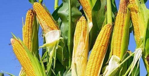 预计12月本后玉米价格