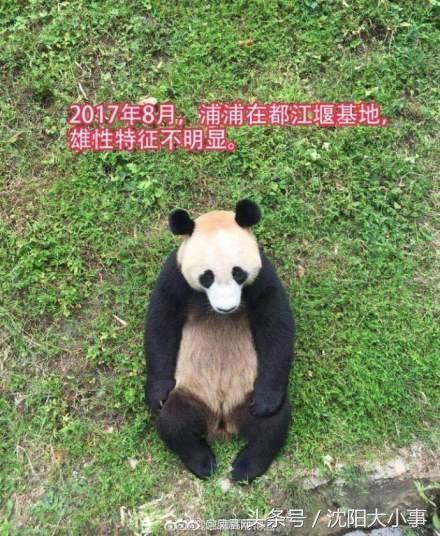 安能辨我是雌雄?沈阳森林动物园更正大熊猫性别