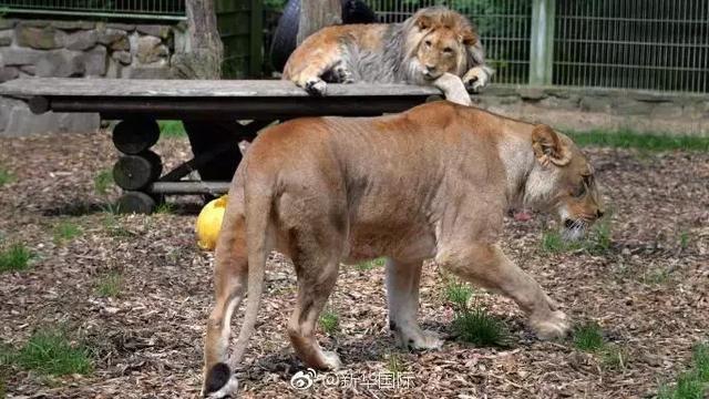 """德国动物园狮虎""""出逃"""""""