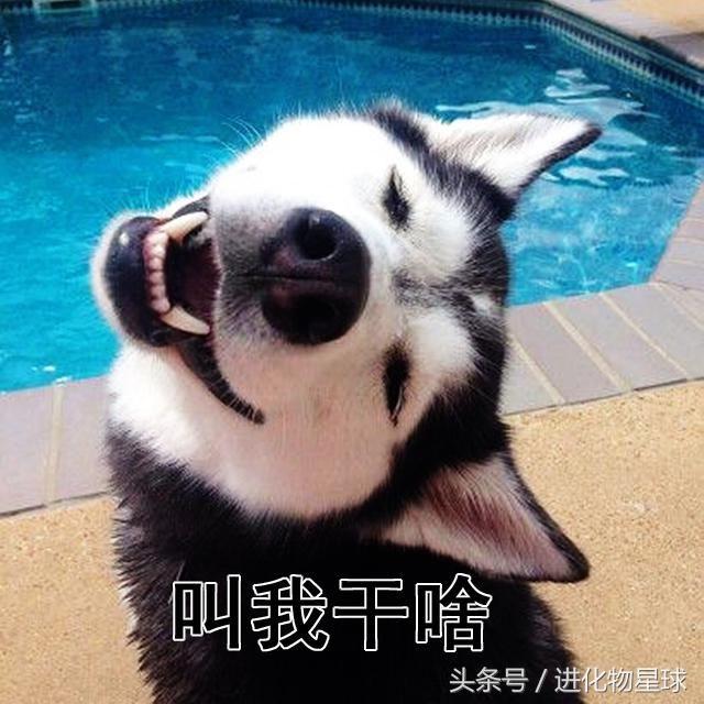 狗界表情包霸主地位,除了柴犬,就非哈士奇莫属了.