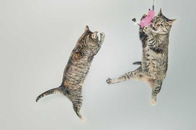 各位铲屎官,你们有没有想过狗和猫之间的运动差异?我们已经知道这两个物种的生活习性和个性差异很大,但是他们的运动能力如何呢?如果说它们都是运动员,那么他们能跑多久多快?事实证明,两者之间的确存在一些有趣的生物解剖学上差异,并且它从脖子上鲜为人知的肌腱开始。  颈部肌腱将头部固定在脊柱上,并且是一种进化后的生物适应性设计,用于稳定运行速度很快的动物的头部。狗所拥有的颈部韧带就像马匹一样,无需使用肌腱即可支撑头部,从而节省能量并提高动物的运动效率。类似已经灭绝的早期犬科动物,它们的腿骨明显伸长,这也使狗狗的运动
