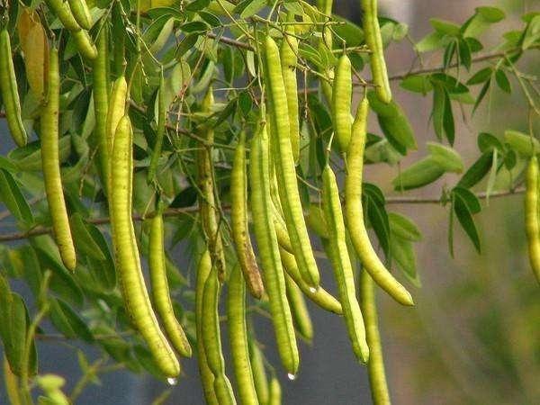 决明子栽植应该怎么施肥呢?