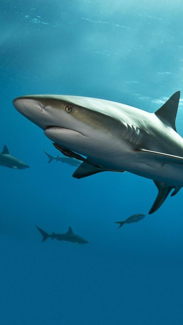 大白鲨是海中霸主?对于它来说大白鲨只是一罐鱼肝酱