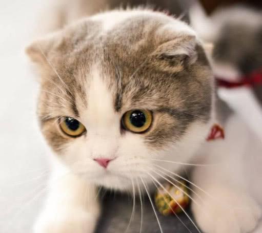性格温顺粘人的猫咪有哪些?其中哪些价格便宜