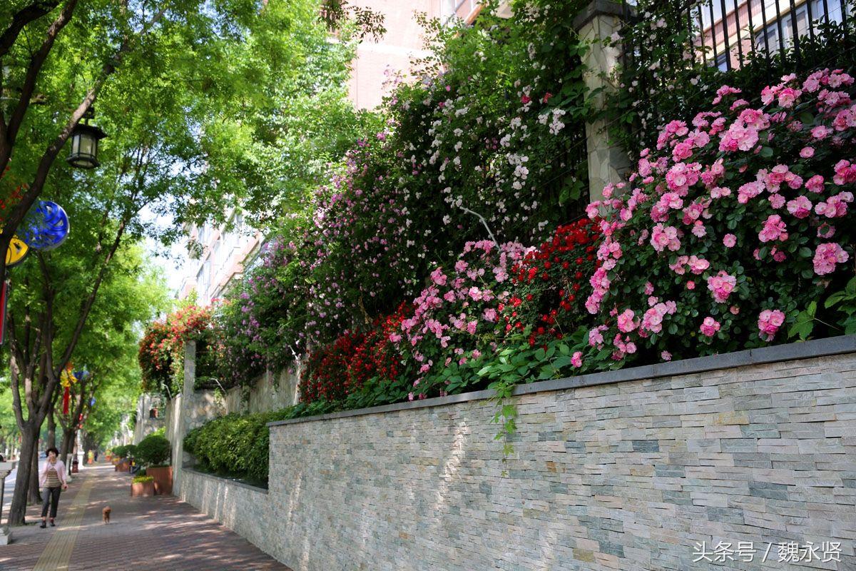 曲江处处见花墙 月季蔷薇正当红