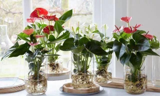 红掌也有白花和绿花的品种,花色丰富,却只有红花的品种受欢迎