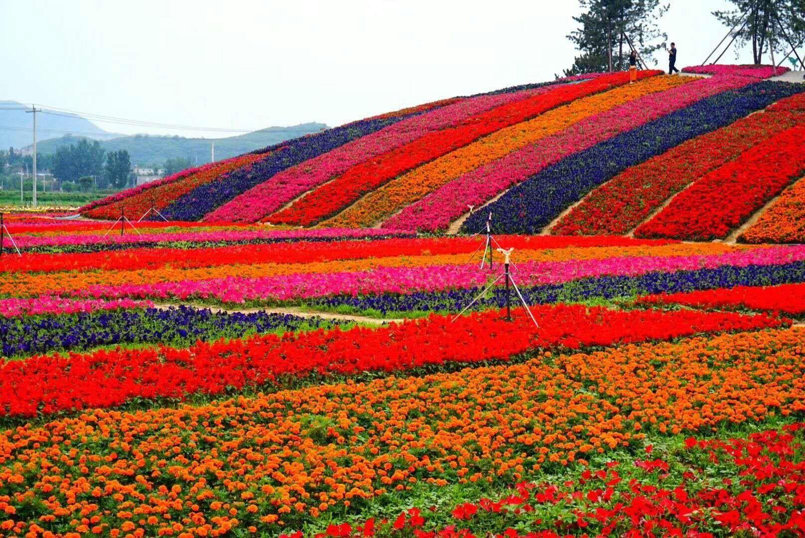 春天去哪里,狼牙山景区万亩花海,竞相开放,争奇斗艳,最美丽的鲜花在