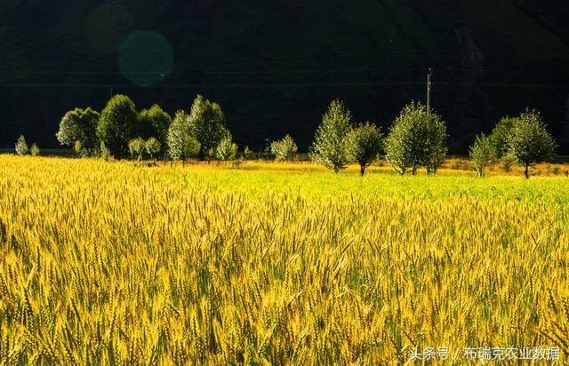 小麦整体收购量稳涨,行情持续强势运行为主
