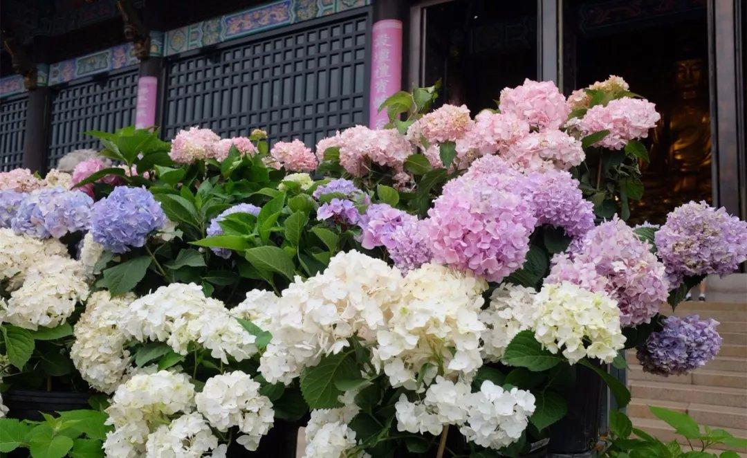白色紫色粉色,在寺廟深沉而內斂的映襯下,顯得格外嬌艷美麗.