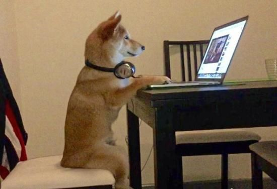 网红表情包柴犬到底是什么样的一条狗?图片