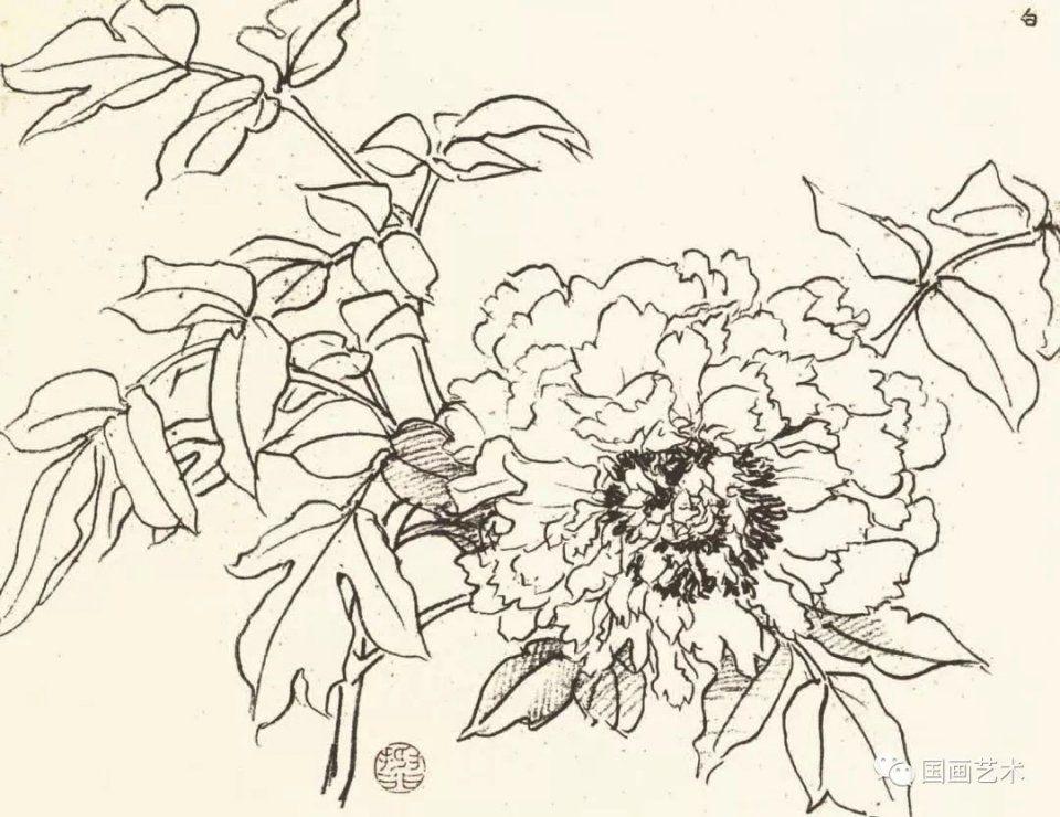牡丹线描稿 含苞,初放,半开,盛开的花,状貌各有不同,在风,晴,雨,露之