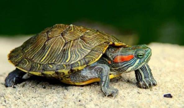 乌龟如果没有了壳还能活着么?掰开龟壳后器官复杂到让人震惊!