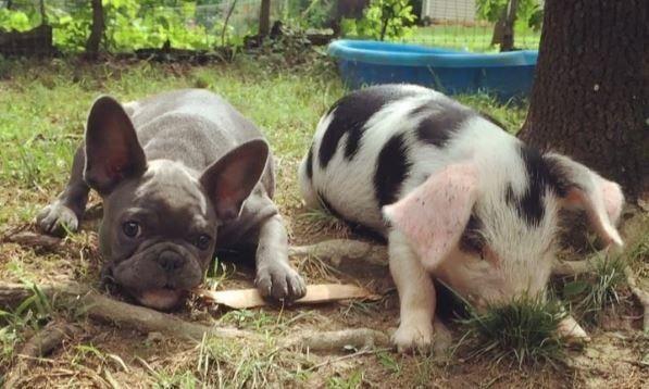 猪狗一家亲,猪崽屠宰场刀口逃生,转眼与狗子建立深厚情谊