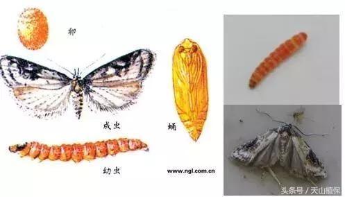 阿克苏地区红枣桃小食心虫发生及防治技术