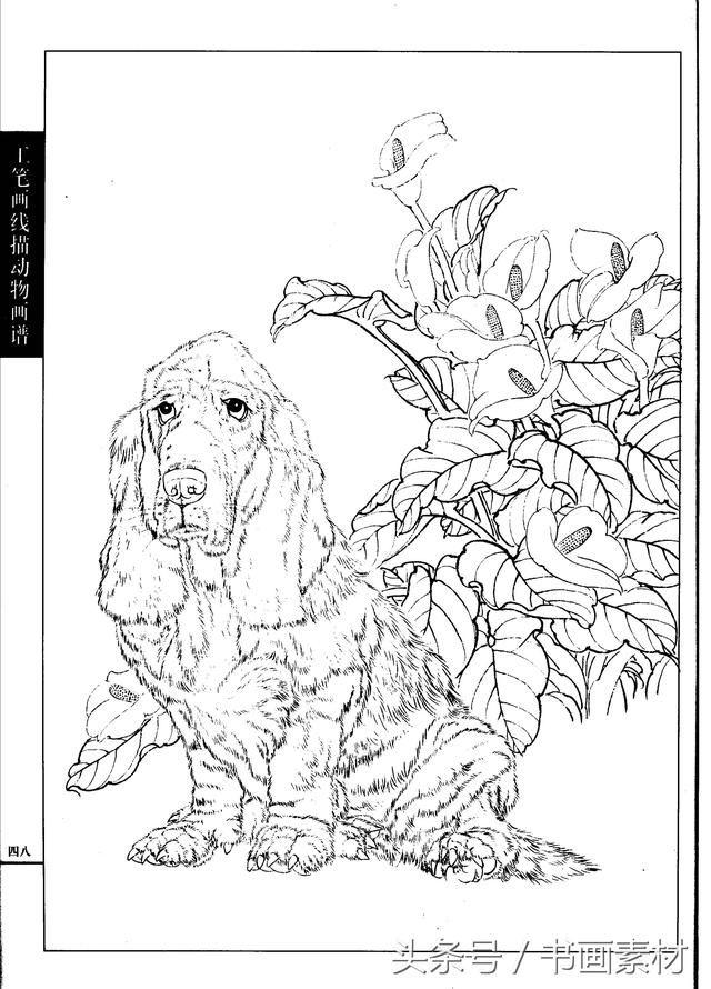 书画素材|工笔画线描动物画谱名犬篇白描上色线条讲解