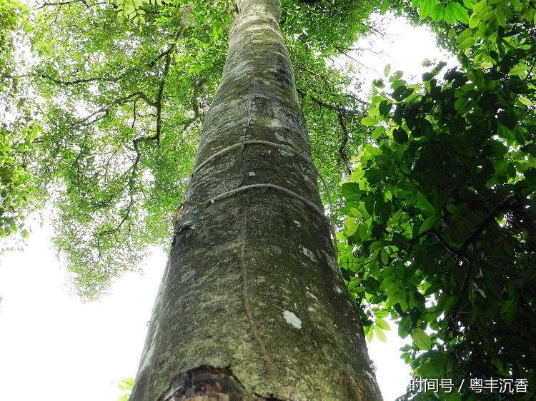 沉香树作为具有极高经济价值的和用途广泛的树种之一,并非是浪得虚名