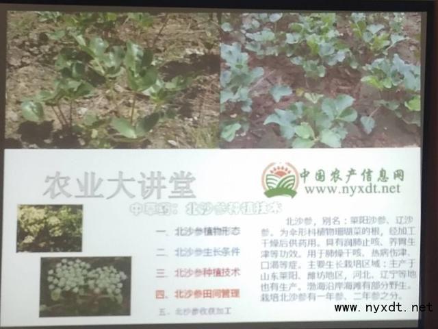 中草药:北沙参田间管理及种植技术