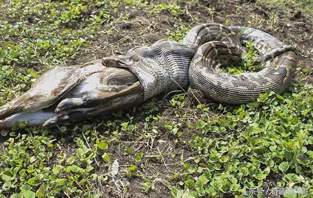 蟒蛇吞食一只羚羊,吃到一半却停下,把羚羊尸体吐了出来