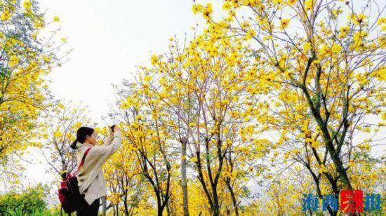 【滚动】灿灿黄花迎风舞厦门五显后烧村黄花风铃木将迎开花旺季
