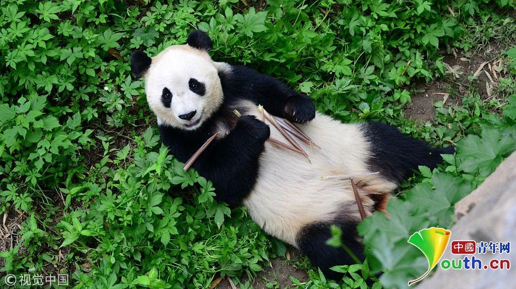 大熊猫仰面朝天吃着硕大的竹笋.