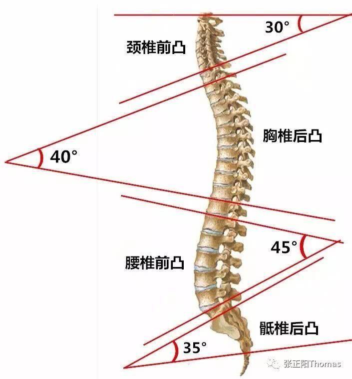 人体生理弯曲_人体的脊柱在解剖学上呈现规律的生理弯曲,如图各个节段的角度,这个