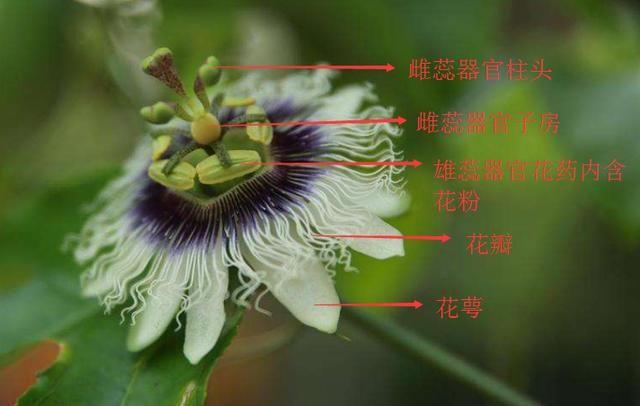 百香果花器(部分)结构图 雄雌蕊介绍:百香果是雌雄同花的,一朵花中分