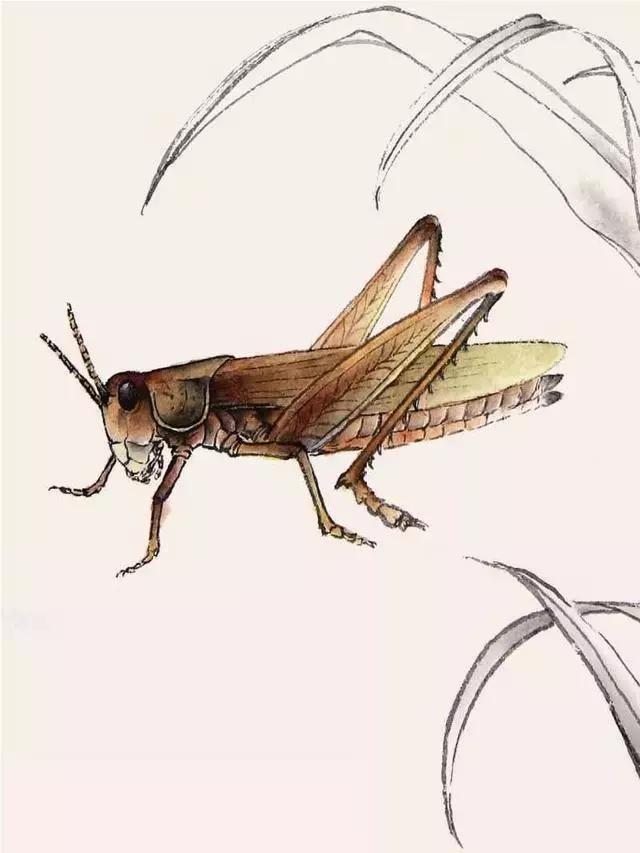 [转载]蝗虫工笔画的画法步骤图