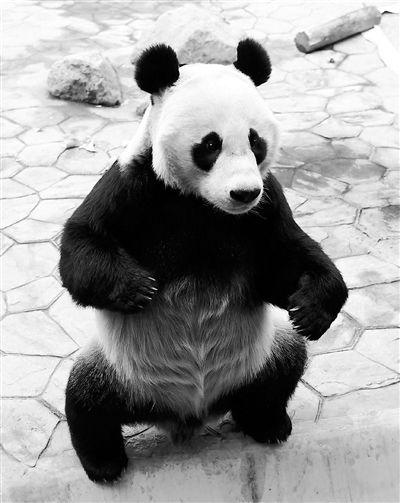"""沈阳森林动物园为大熊猫浦浦发""""更正"""""""