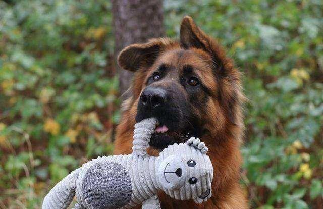 德牧遇到一只羊,结果被羊吓得瑟瑟发抖,真是丢尽了牧羊犬的脸