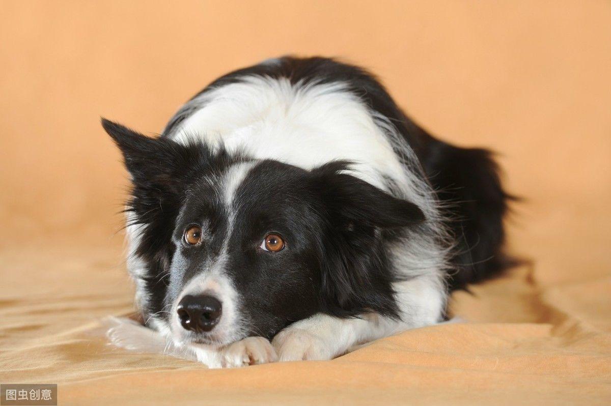 牧羊犬里的狗狗,都特别聪明颜值高,但最后的牧羊犬怎么长这样?